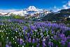Lupines In The Valley Below Mount Baker - Skyline Divide, Mount Baker Area, Washington