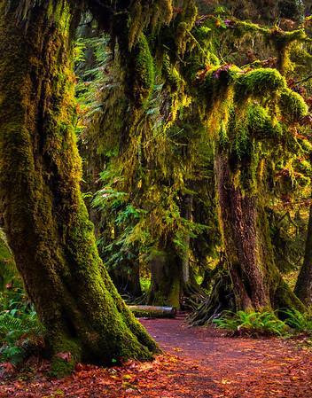 Pathway Of Autumn Colors - Hoh Rainforest, Olympic National Park, Washington Olympic National Park, Washington