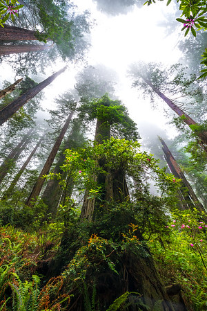 Redwood Mystery Of Ancient - Redwoods, California