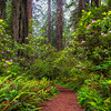 Trail Of Eden And Rhodies - Redwoods, California