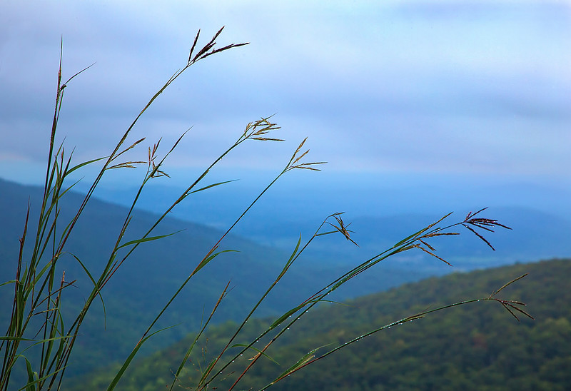 Grass weeds, wet with dew, along Skyline drive
