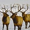3 Stag Elk; Grand Teton's