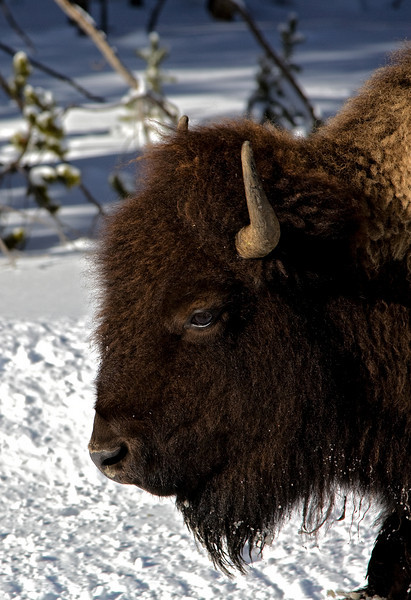 Bisen;  Yellowstone in Winter