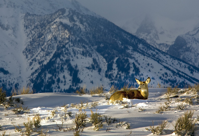 Deer in the foothills of the Grand Tetons