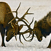 Fighting elk  Grand Teton's