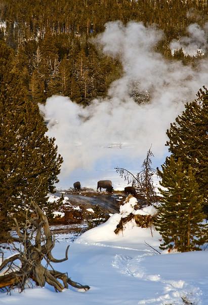 Bisen by geyser   Yellowstone in Winter