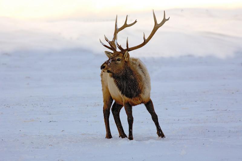 Elk  Grand teton's in Winter