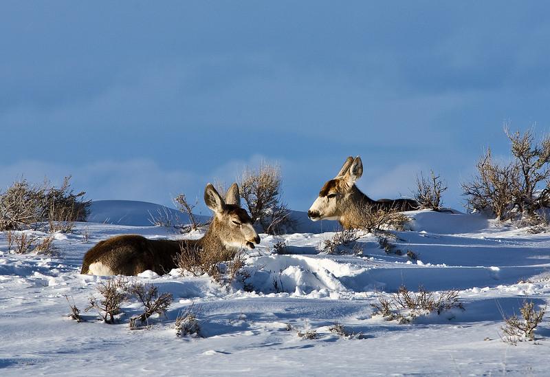 Mule Deer in Grand Tetons in Winter