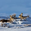 Mule Deer in Grand Tetons in Winter