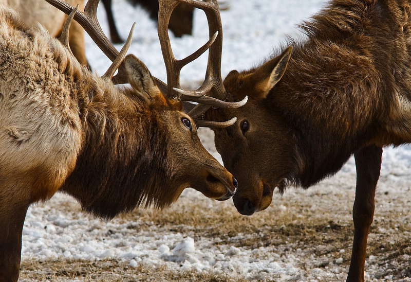 Fighting elk  Grand Teton's
