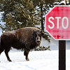 Lone Bisen stops to look at us when we stopped in our snow coach.  Yellowstone in Winter