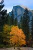 Single Yellow In Golden Light Under Half Dome - Lower Yosemite Valley, Yosemite National Park, California
