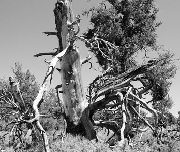 Dead Tree in Craters of the Moon National Park