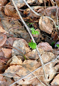 2003-00190     Glacier National Park, Montana     Many Glacier area in very early spring, pines sprouting amid fallen leaves.  Renewal...