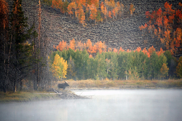 Moose In Morning Mist - Grand Teton National Park