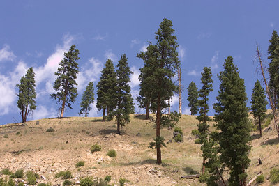 Tree stand in yellowstone