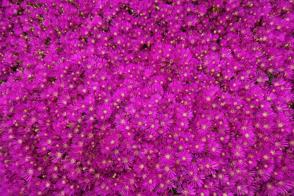 Bed of Magenta Grouind Covering Flowers