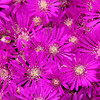 Bed of Magenta Grouind Covering Flowers Close-Up