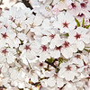 Cherry Blossoms on Tree in Gilroy, CA