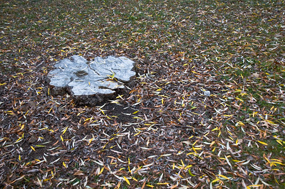 UW Arboretum - Stump and leaves
