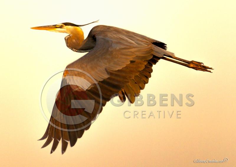 Blue Heron in flight over Erie Bay