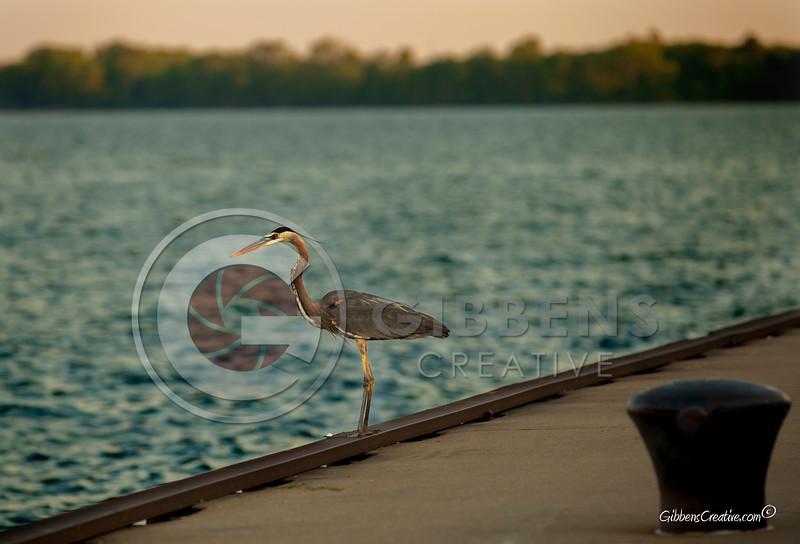 Blue Heron on dock of Erie Bay