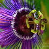 Passion Flower.  South Florida.