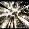 Red Wood Trees, Yosemite National Park, California