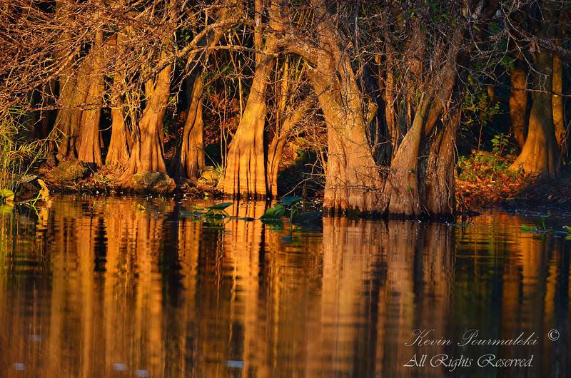 Mangrove Trees. Everglades National Park.
