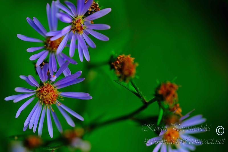 Wild Flowers, Glacier National Park.
