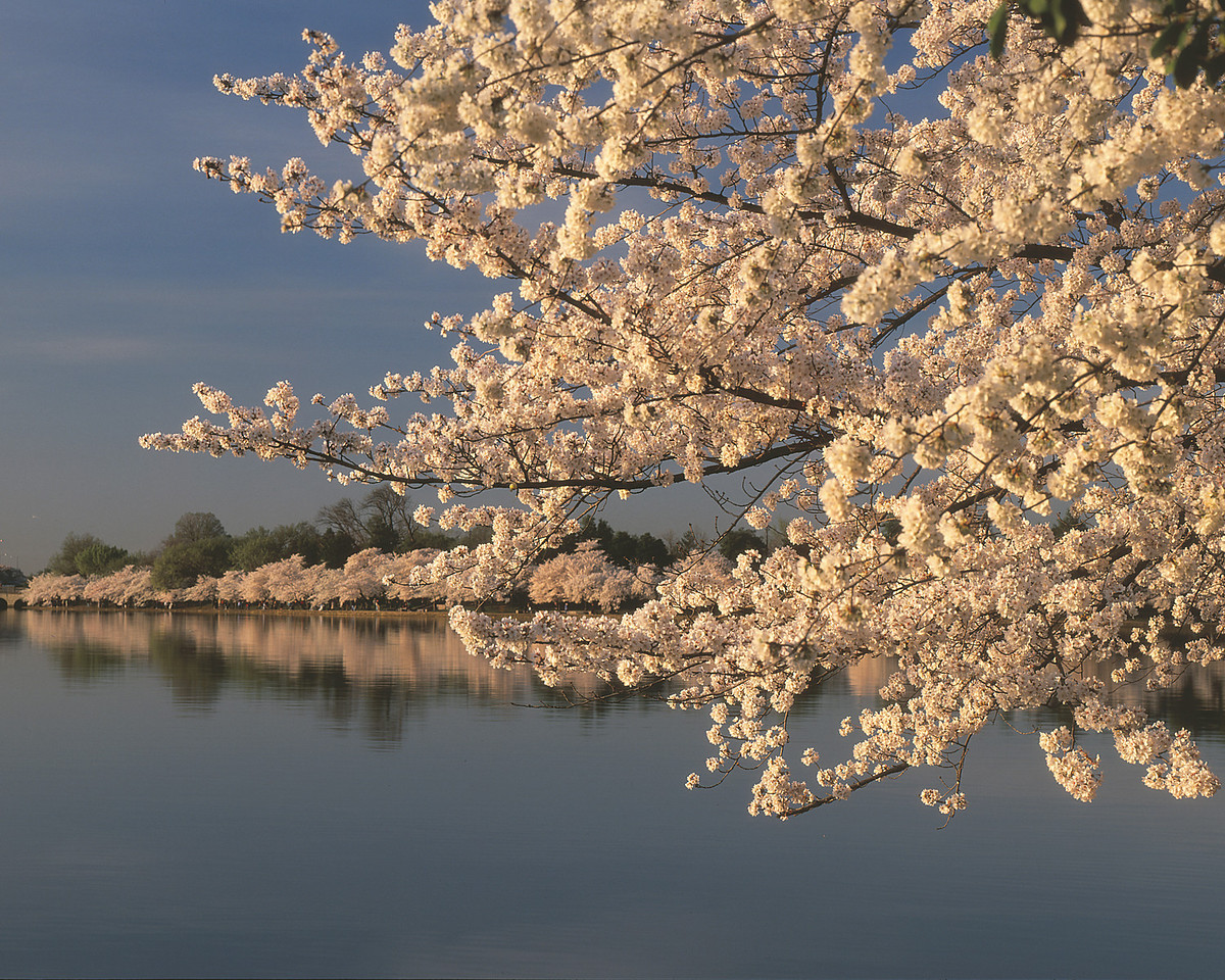 Tidal Basin in April