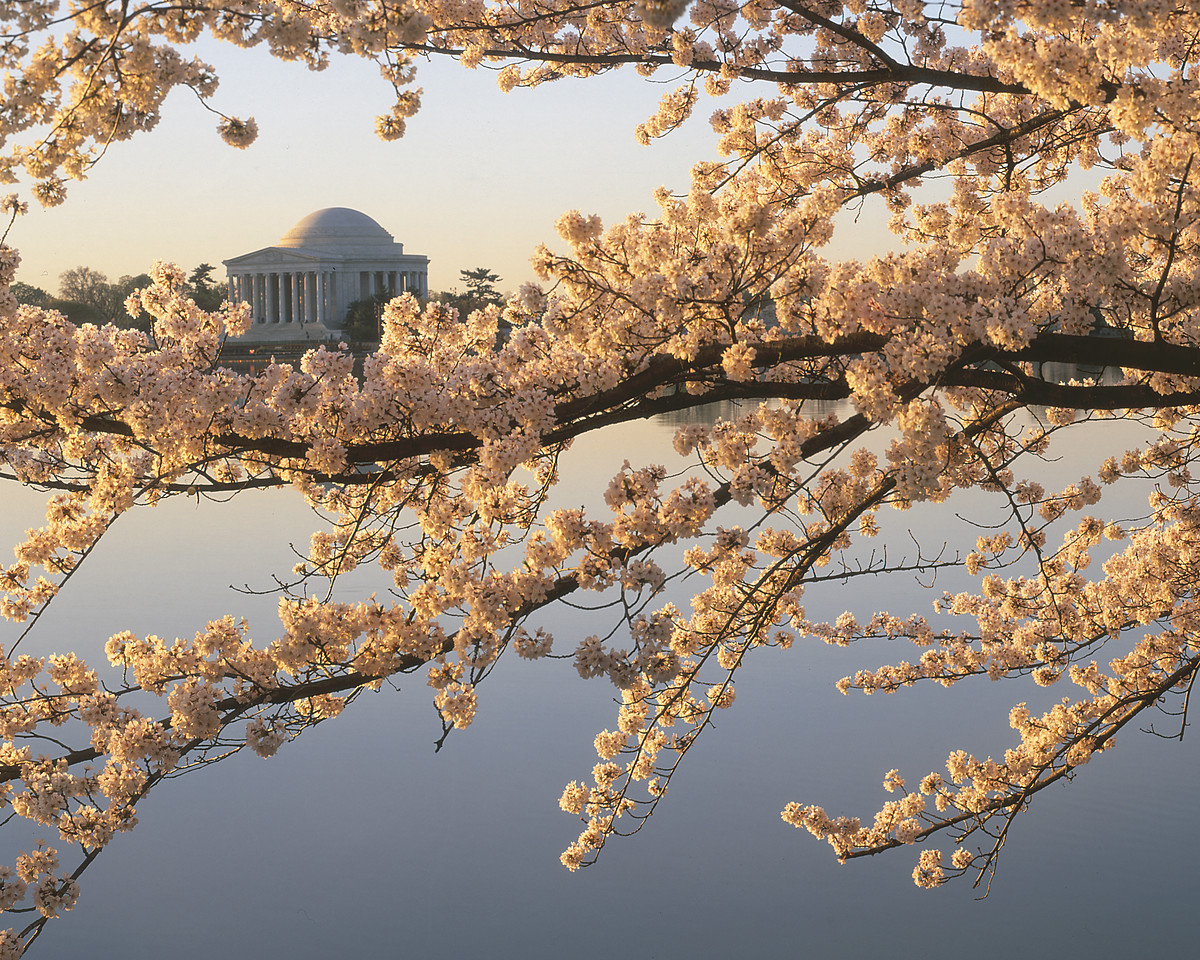 Cherry Blossoms!  <br /> <br /> With Jefferson Memorial upper left