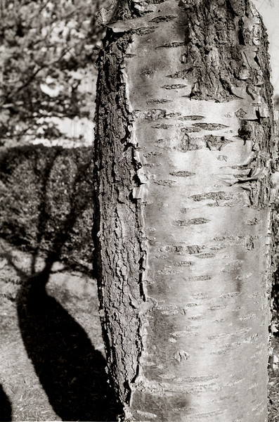 Tree with Shadow