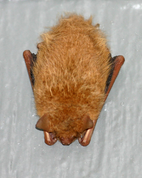 I found this bat clinging to the back of my house on Sunday May 21st, 2006.