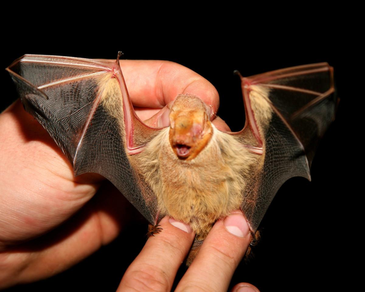 Eastern Red Bat, Fairbanks Landing FWA, Sullivan/Vigo County Line, Sept 22, 2007