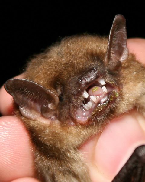 Big Brown Bat, Fairbanks Landing FWA, Sept 22, 2007