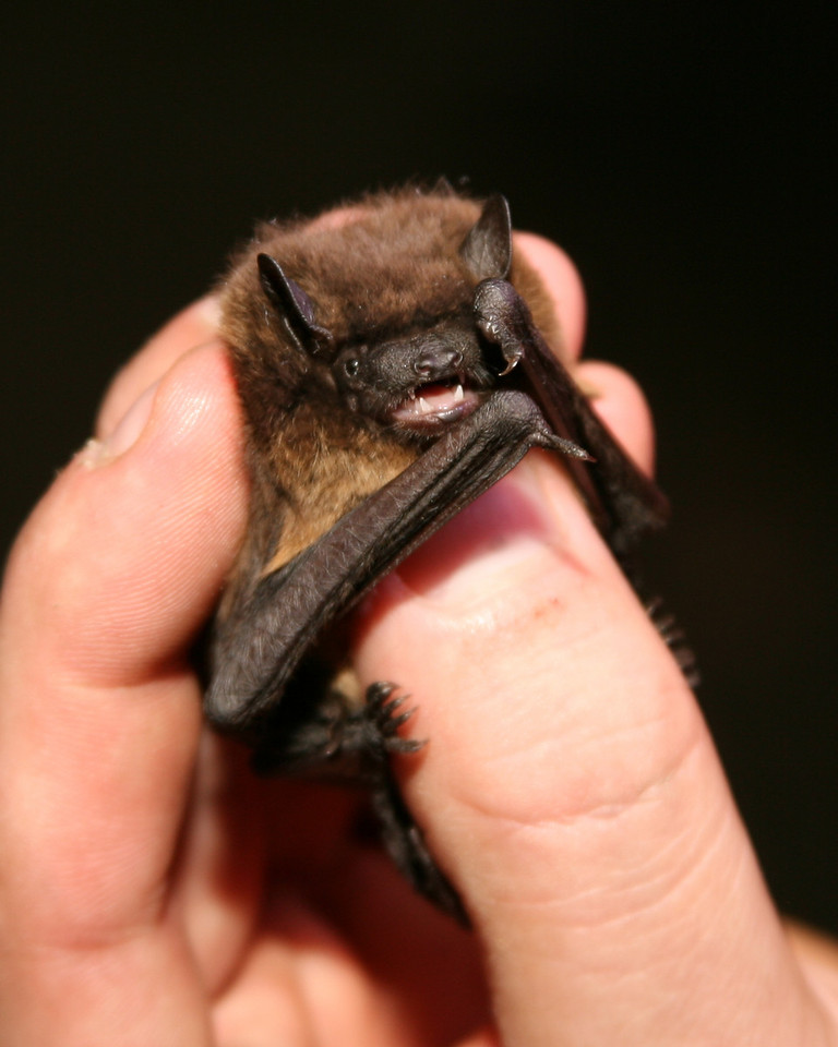 Evening Bat is a state-endangered species, netted at Fairbanks Landing FWA, Sept 22, 2007.