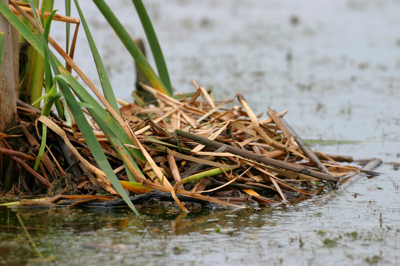 American Coot nest.  Brazil Lagoons first pond.  July 4, 2006.