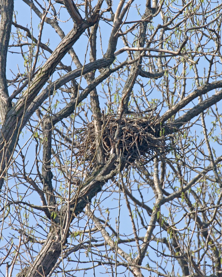Red Tail Hawk nest, The Burn, Montgomery County, Indiana, April 15, 2006.