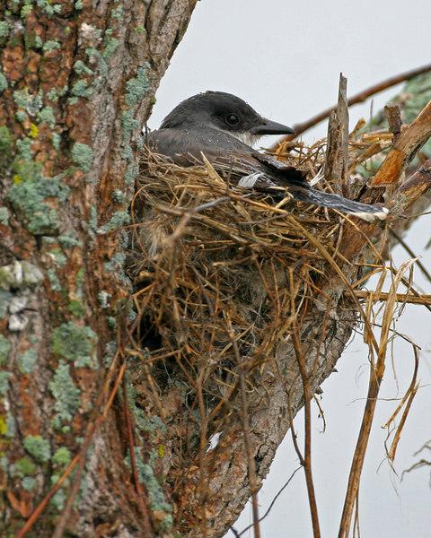 Eastern Kingbird on nest.  Chinook Mine South on county line lake.  July 4, 2006