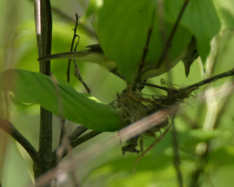 Bell's Vireo nest building.  Chinook Mine South.  Late May 2006.