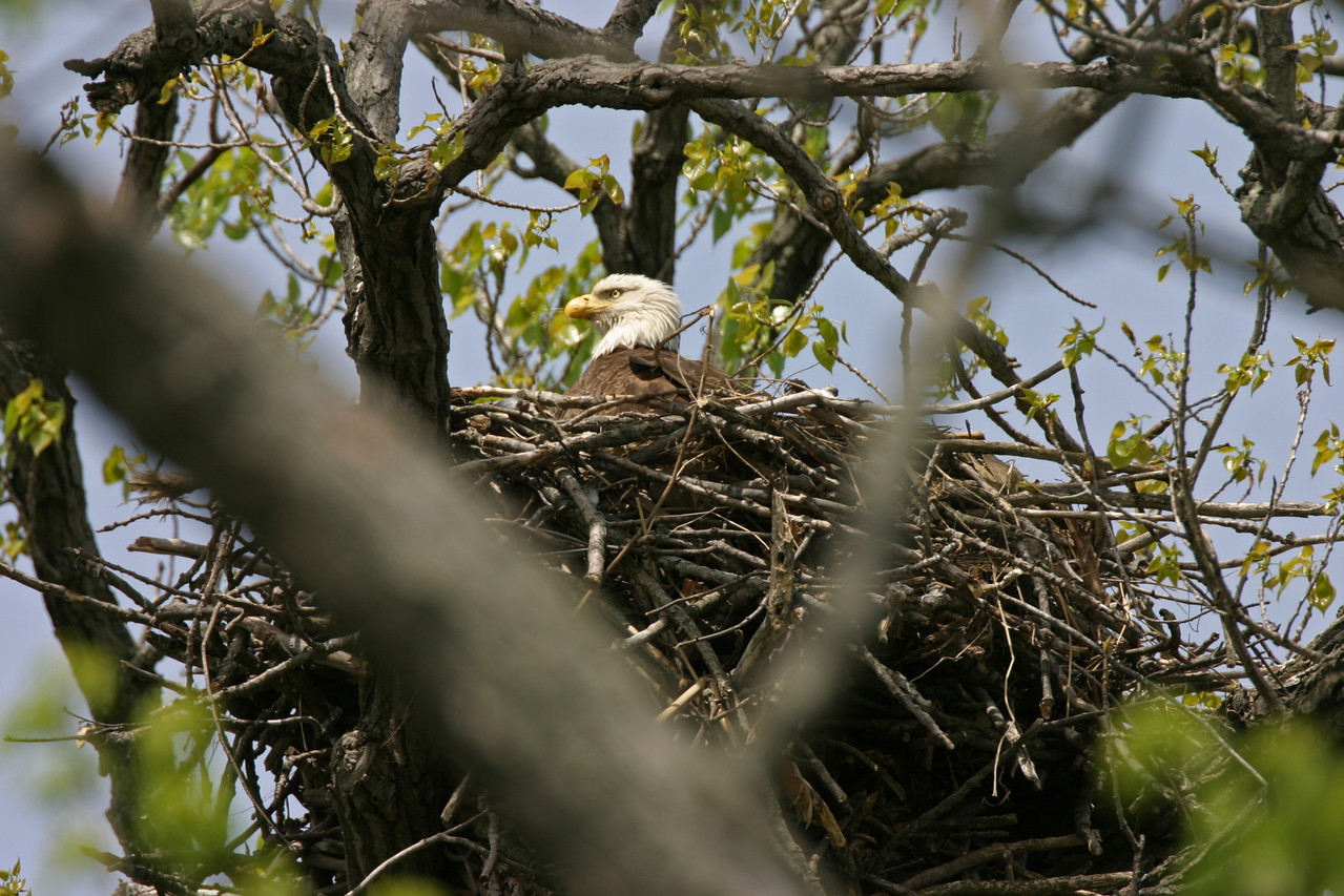 Bald Eagle, Along the Wabash River north of Newport, Indiana.  April 2006.