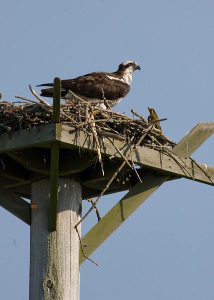 Osprey on manmade nest platform, Potato Creek State Park, May 2009.