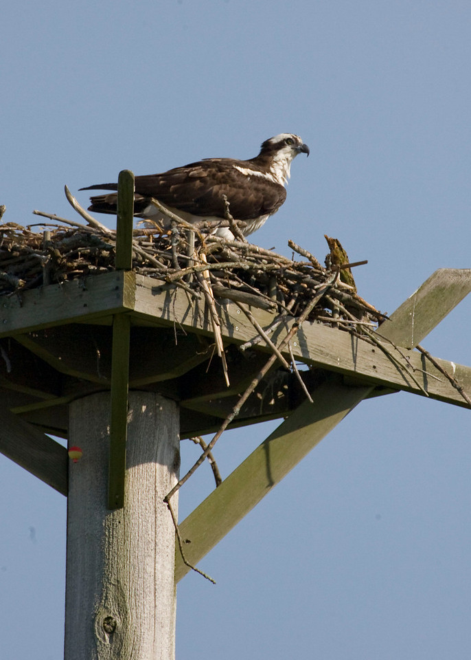 Osprey on manmade nest platform, Potato Creek State Park, May 2009.