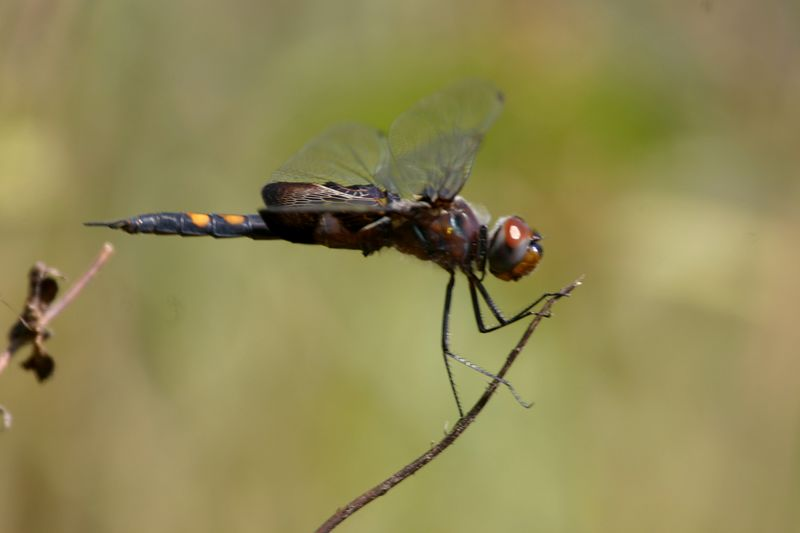 Dragonfly, Chinook Mine, Vigo, Oct 1, 2005.