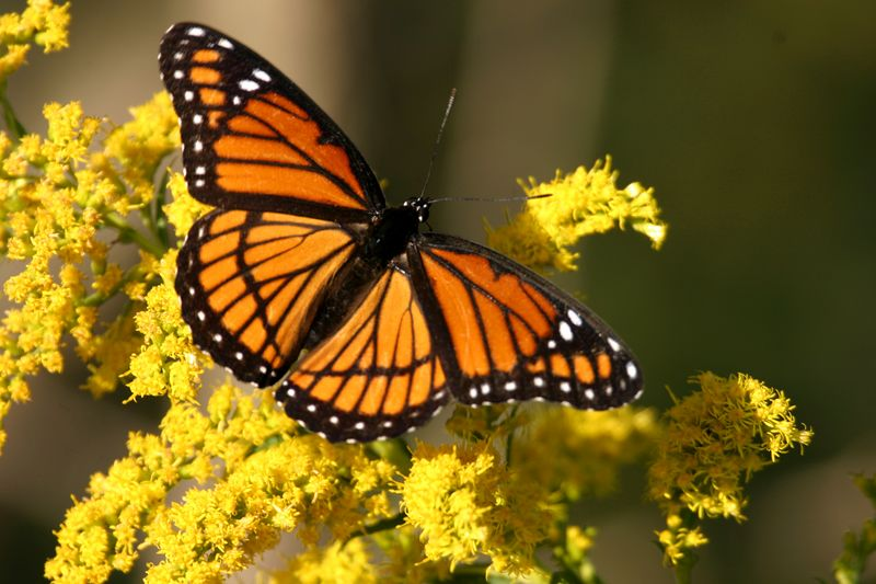Viceroy on goldenrod.  Vigo, Oct 1, 2005.