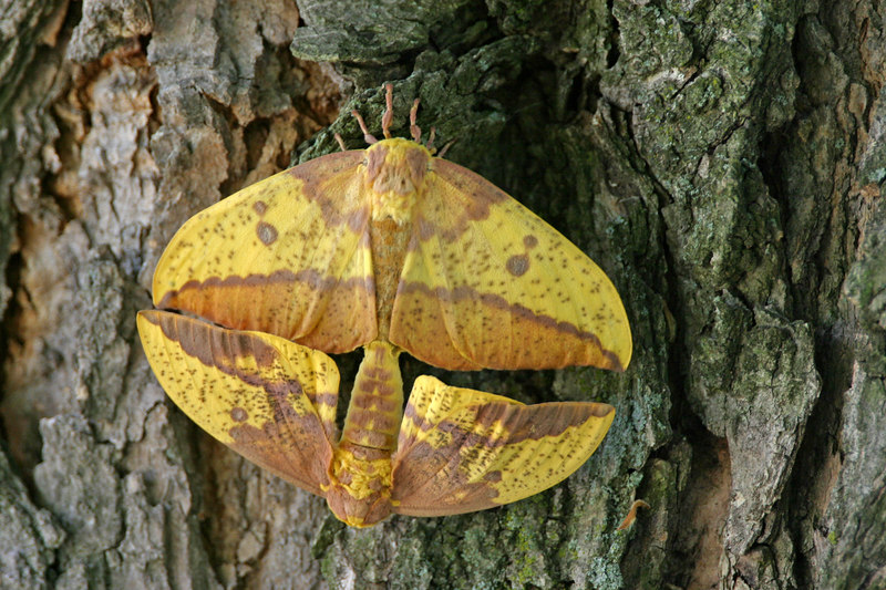 Imperial Moths on tree in Highland Lawn Cemetery, Terre Haute, Indiana, June 4, 2006