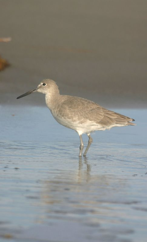 Short-billed Dowitcher, Cocoa Beach, Florida, October 2004.
