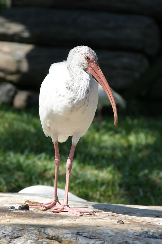 White Ibis, Disneyworld Florida, October 2004.