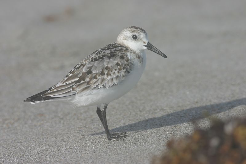 Sanderling, Cocoa Beach, Florida, October 2004.